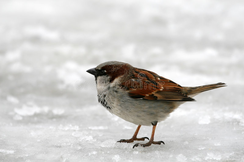 Angry Sparrow. On the snow (Passer Domesticus stock photos