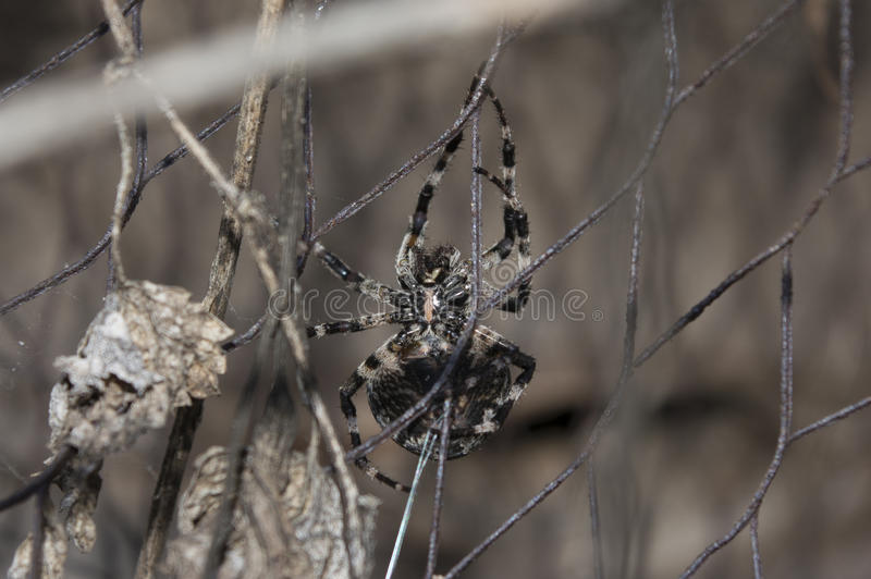 Angry spider royalty free stock image