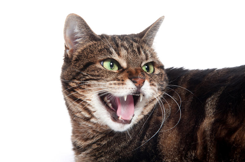 Angry tabby cat. Adult tabby cat hissing on white backgorund stock images