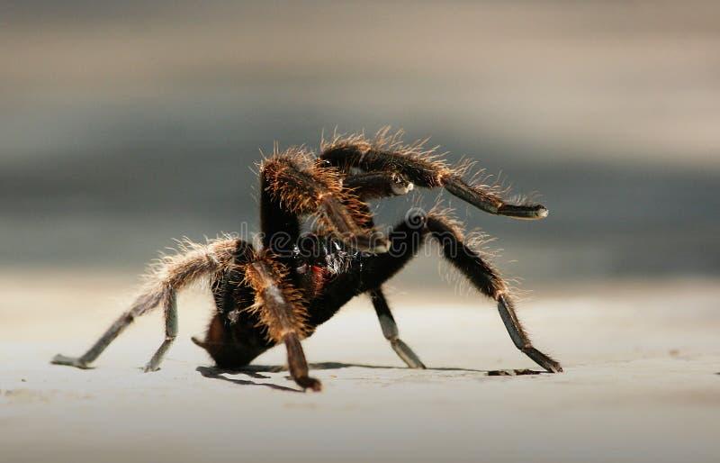 Angry Tarantula royalty free stock photo