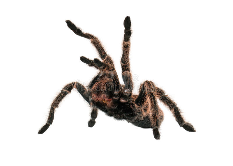 Angry Tarantula Spider royalty free stock image