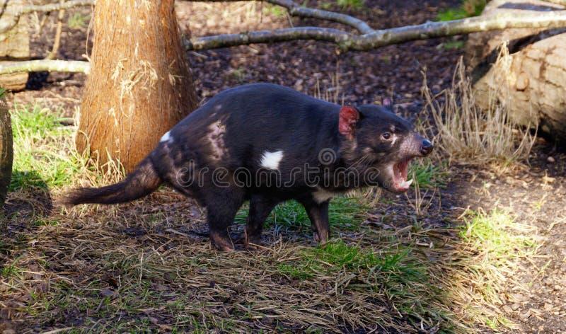 Angry Tasmanian devil stock photo