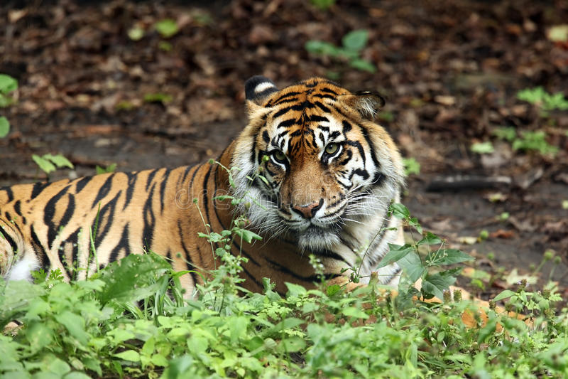 Download Angry Tiger stock photo. Image of wildlife, angry, curious - 11340994