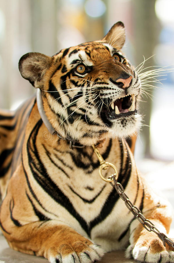 Angry tiger stock photos