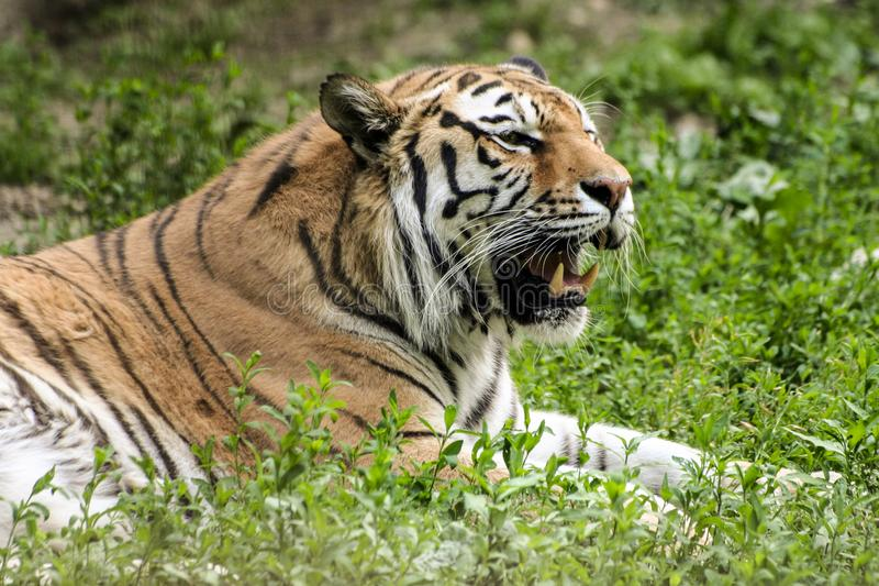 Angry tiger - The face of the tiger. Angry tiger. The face of the tiger. Bengal tiger. Endangered species stock image
