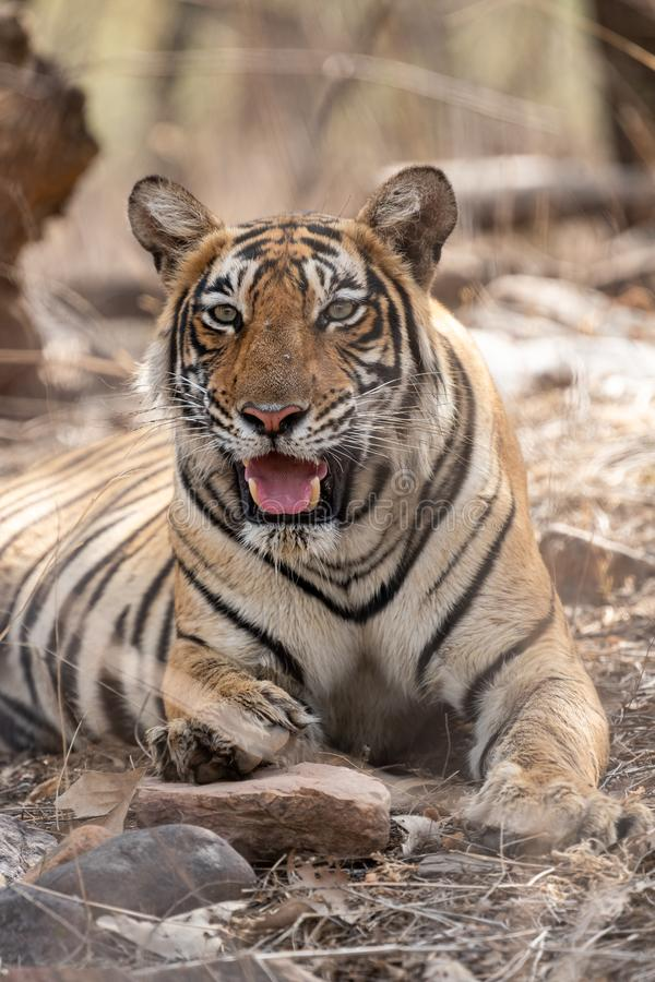 Angry tiger face with expression mouth open showing canines during summer season safari at ranthambore national park india. Angry tiger face portrait with royalty free stock photography