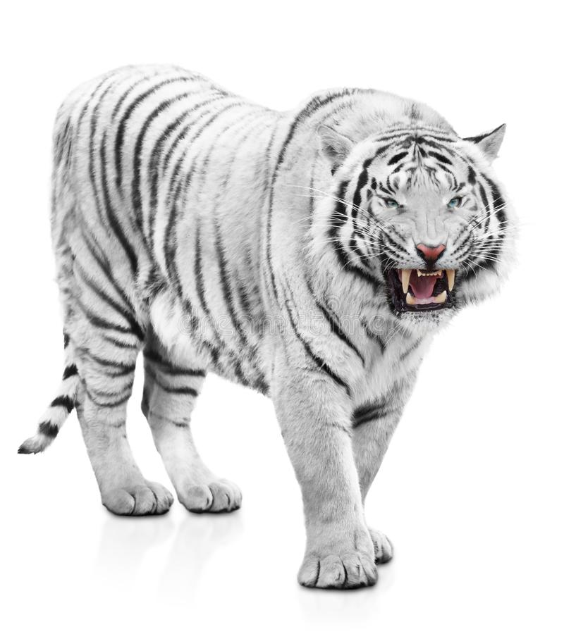 Angry tiger. Furious white tiger isolated on white background royalty free stock photography