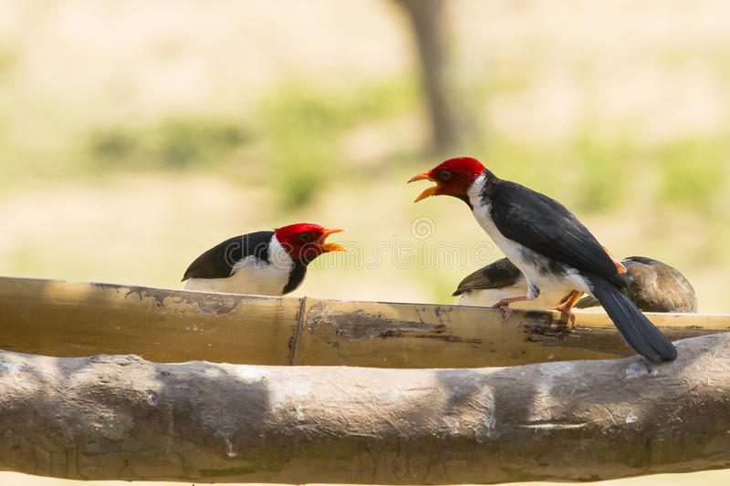 Angry Two-Way Conversation amongst Yellow-billed Cardinals. Perched on a feeder next to a thick branch, two yellow-billed cardinals with bright red heds squawk royalty free stock photography