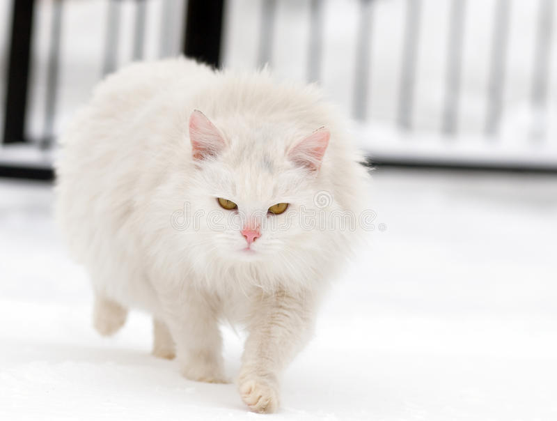 Download Angry white cat stock photo. Image of beautiful, cute - 23295154