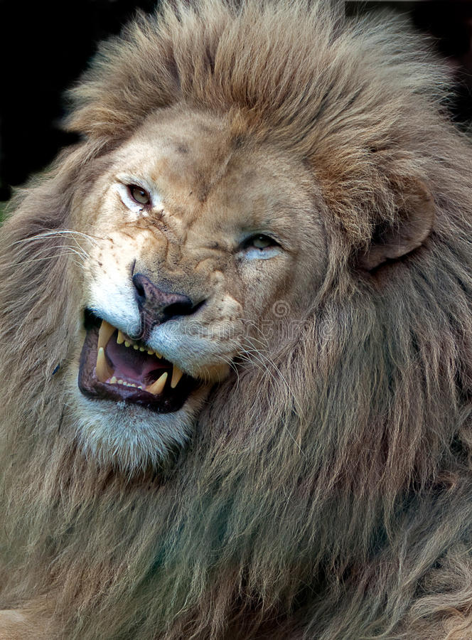 Angry white male lion. Roaring stock photography