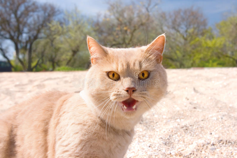Angry wild Cat royalty free stock photos