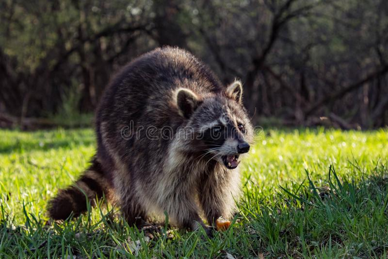 Angry Wild Raccoon royalty free stock image