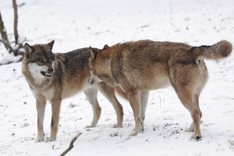 Angry wolf. The angry eurasian wolf (Canis lupus lupus) on snow stock photography