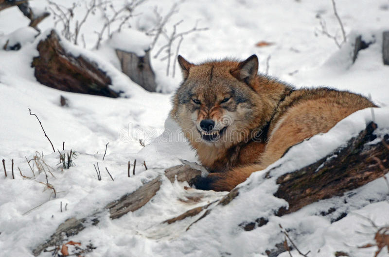 Wolf Germany angry wolf in black forest germany stock photo image of black