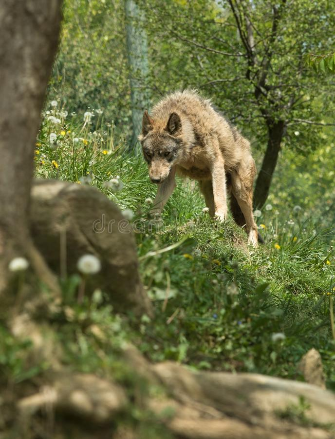 Angry wolf. Standing on a hill stock photo