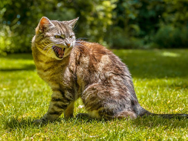 Angry yelling cat. Agressive yelling cat in a garden setting stock images
