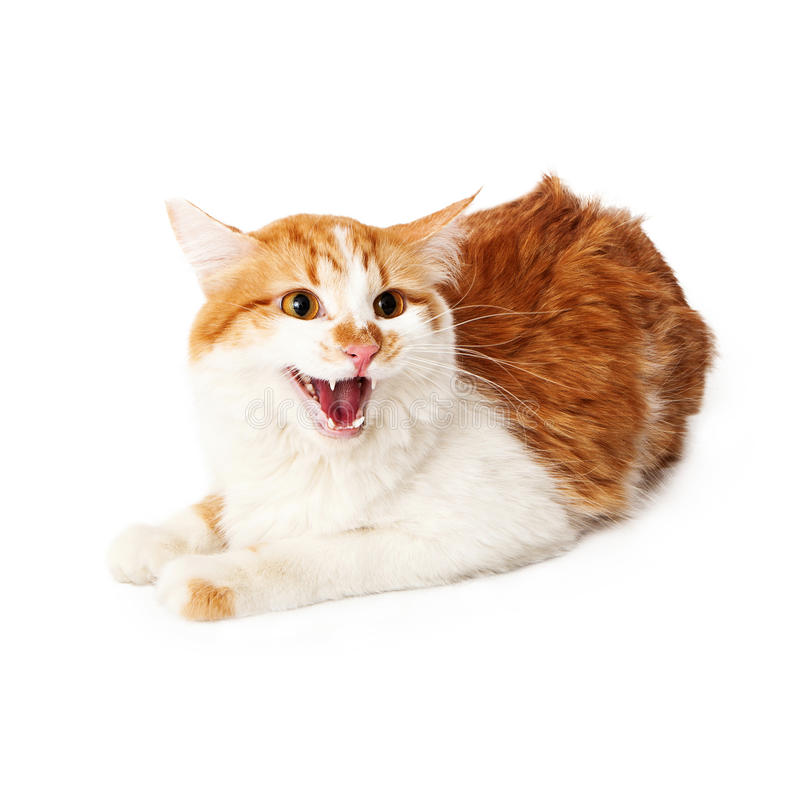 Angry yellow and white cat hissing. While sitting on a white background royalty free stock photography
