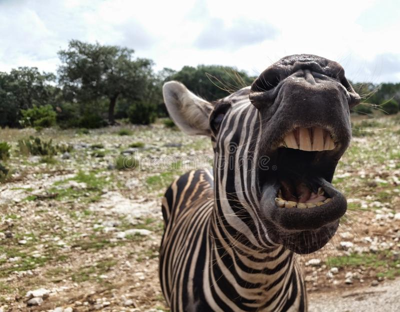 Angry zebra royalty free stock photography