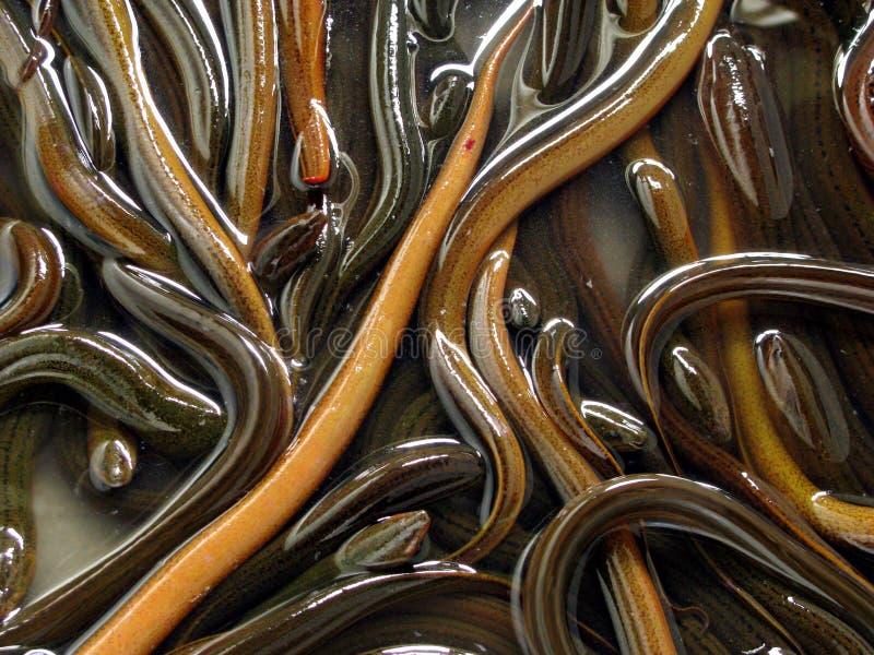 Anguila imagen de archivo libre de regalías
