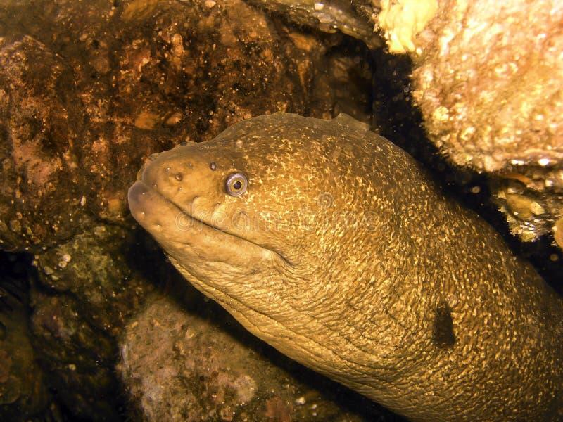 Anguila de la costa de California imagen de archivo