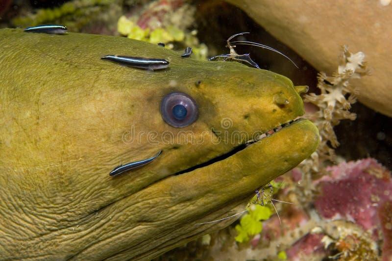 Anguila de Moray imágenes de archivo libres de regalías