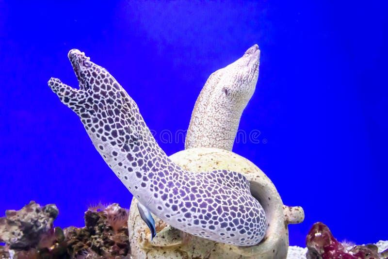 Anguila de moray manchada en la profundidad del oceanarium foto de archivo libre de regalías