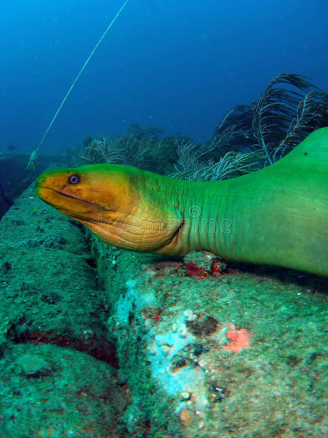 Anguila de Moray verde fotografía de archivo