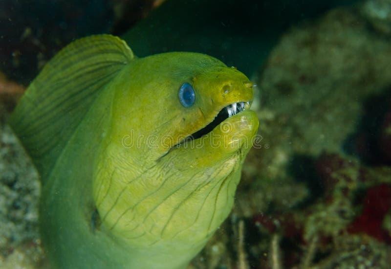 Anguila de Moray verde gigante fotos de archivo