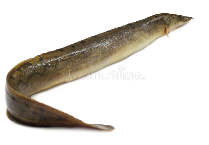 Anguilla Bengalensis Or Indian Eel Royalty Free Stock Image