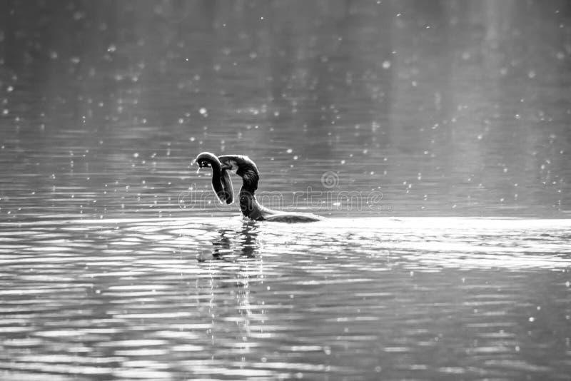 Anguilla d'acqua dolce di caccia e di cattura del carbo del Phalacrocorax di Cormorant fotografia stock libera da diritti