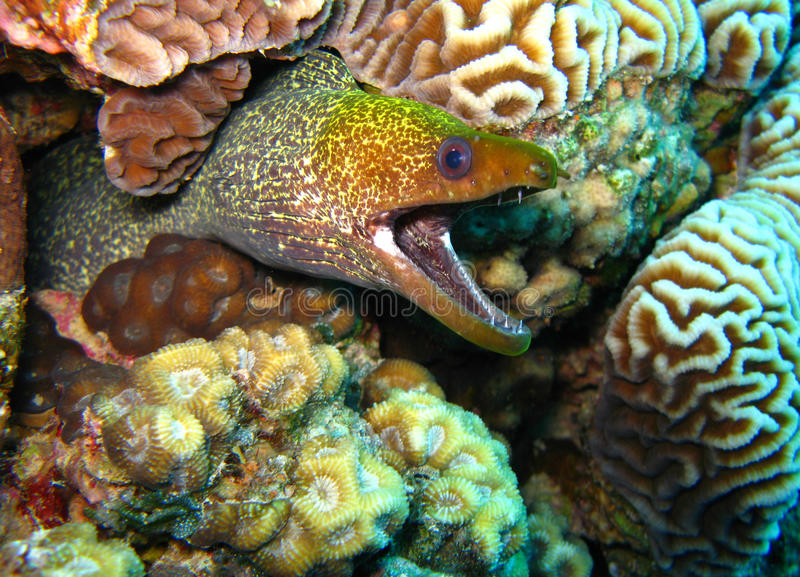 Anguilla di Moray immagini stock