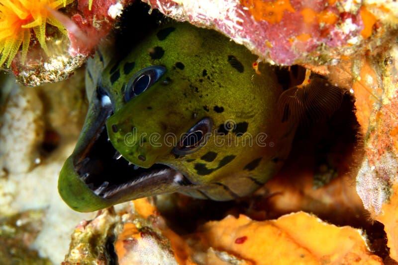 Anguilla di Moray fotografie stock