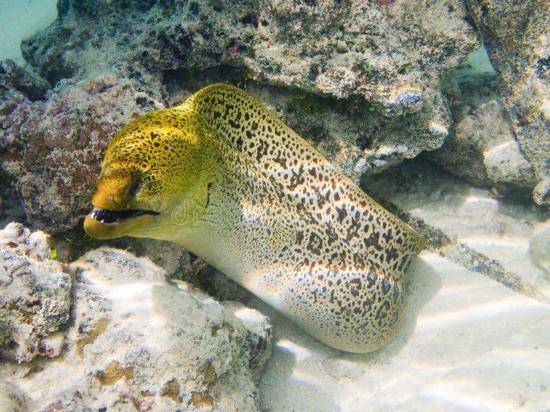 Anguilla di moray gigante fotografie stock libere da diritti