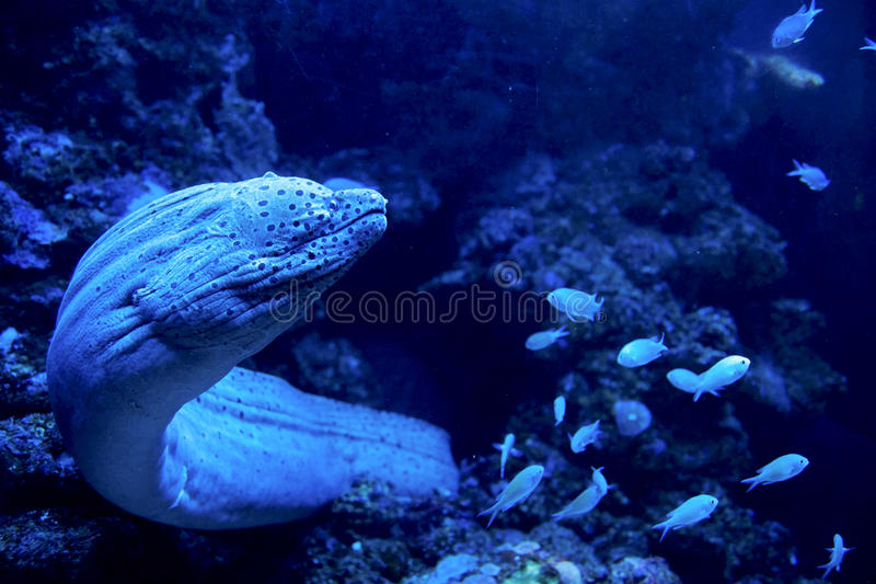Anguilla di moray gigante che esce per una caccia immagini stock libere da diritti