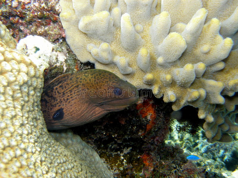 Anguilla di Moray verde gigante Fiji fotografia stock