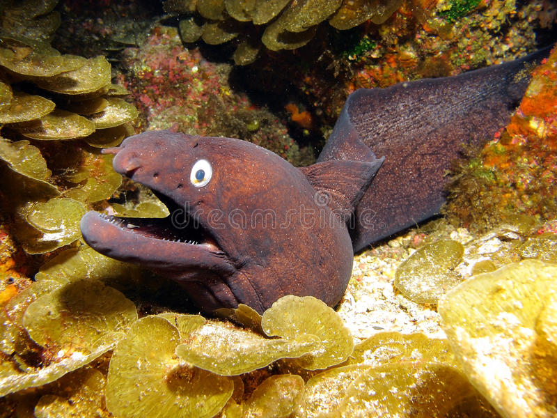Anguille de Moray photographie stock