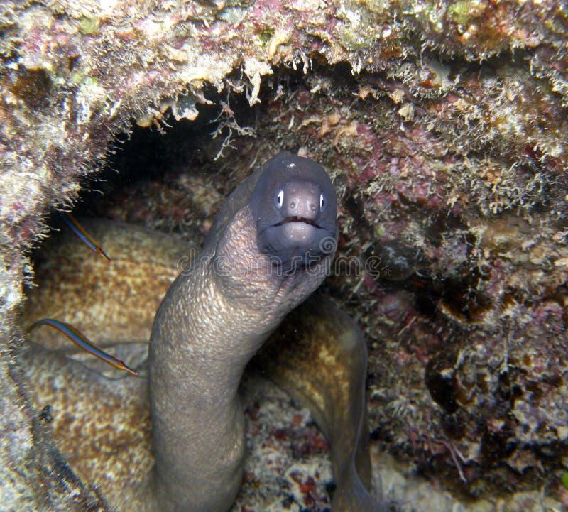 Anguille de moray blanche d'oeil avec des poissons plus propres de pipe photographie stock libre de droits