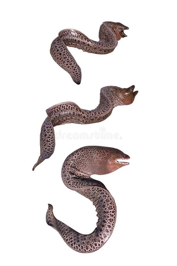 Anguille de moray géante images stock
