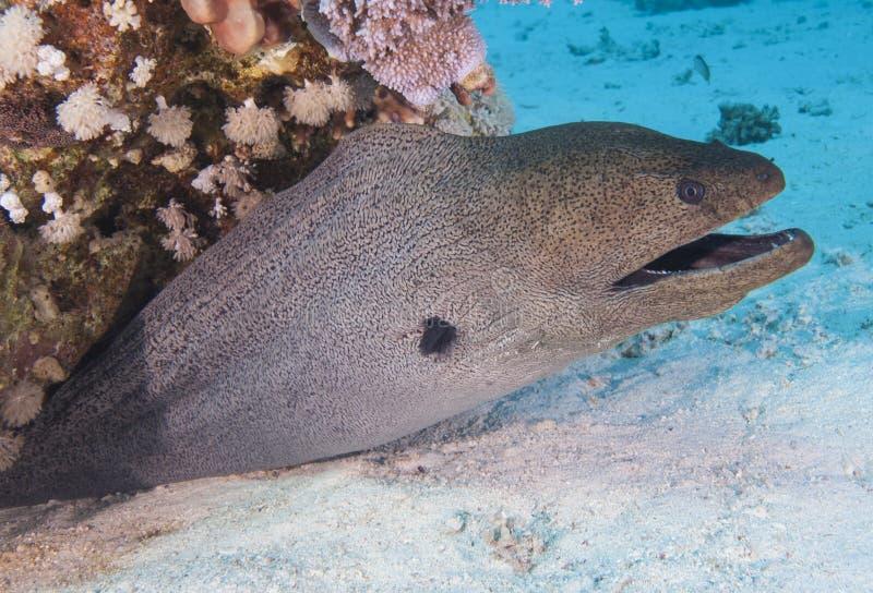 Anguille de moray géante sur un récif coralien photos libres de droits