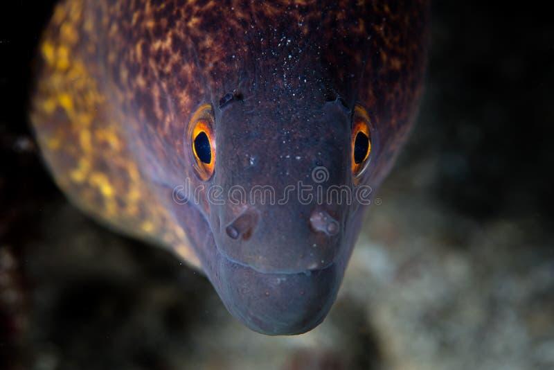 Anguille de Moray jaune de marge images libres de droits