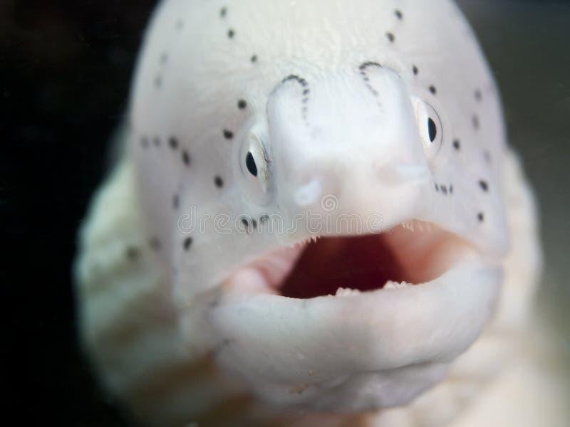 Anguille muray blanche sous-marine image libre de droits