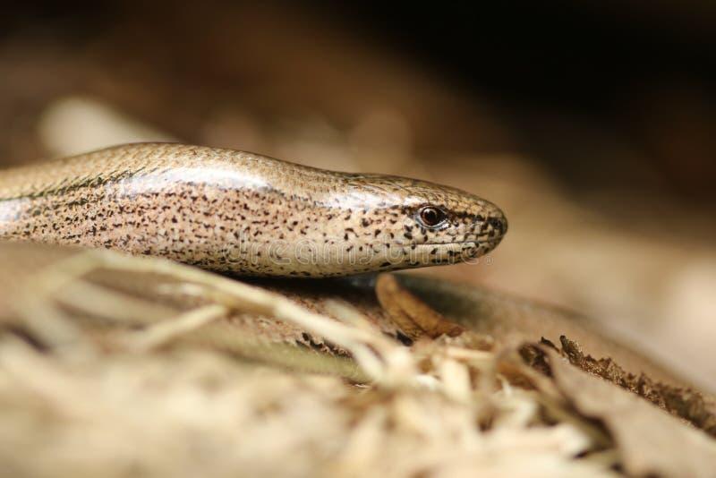Anguis fragilis, или медленный червь грея до идут поохотиться стоковые фотографии rf