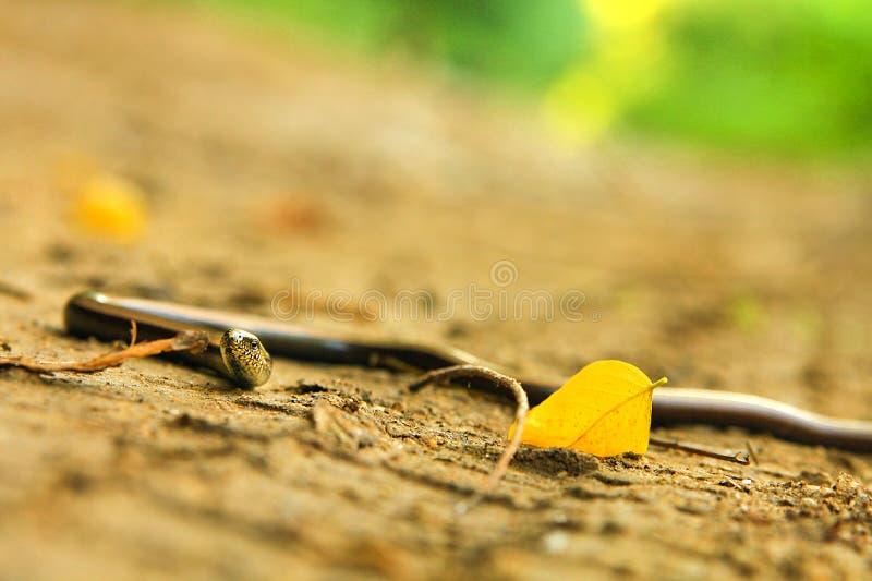 Anguis fragilis immagine stock libera da diritti