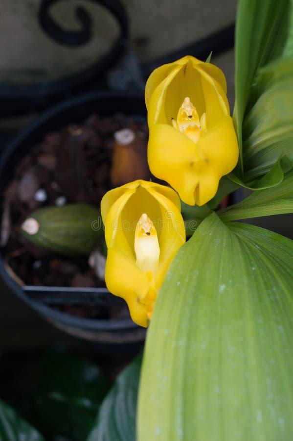 Anguloa-clowesii Orchideen-Makro stockfotografie