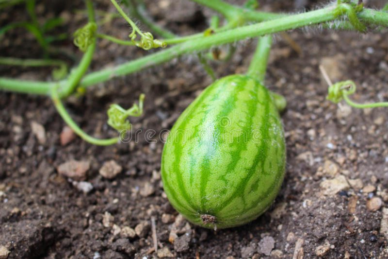 Anguria della piccola frutta che cresce nel giardino immagini stock libere da diritti