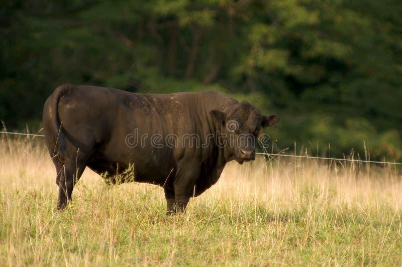 Angus Bull photographie stock libre de droits
