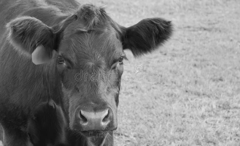 Angus Bull Calf i den Brown County Ohio B & W-bilden arkivfoton