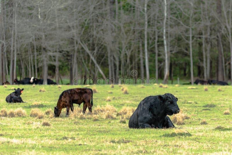 Angus bull and calves royalty free stock photo