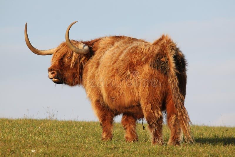 Angus Bull op het gebied royalty-vrije stock afbeeldingen