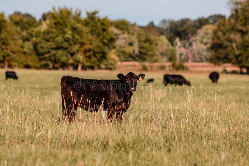 Angus calf in early autumn pasture. Angus crossbred calf looking at the camera with the rest of the herd in the background out of focus in an early autumn royalty free stock image